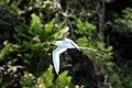 Red-billed tropicbird (Phaethon aethereus mesonauta) in flight.jpg