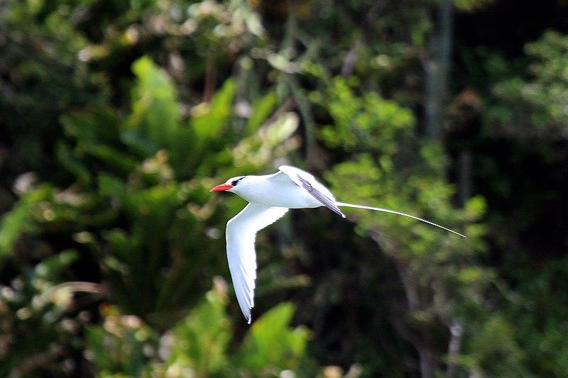 File:Red-billed tropicbird (Phaethon aethereus mesonauta) in flight.jpg
