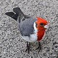 Red-crested cardinal 1 (30411956721).jpg