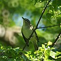 Red-eyed Vireo (6946969304).jpg