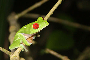 Tree frog - Red-eyed tree frog, Osa Peninsula, Costa Rica