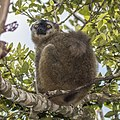 Red-fronted brown lemur (Eulemur rufifrons) male.jpg