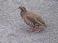 Red-legged Partridge (Alectoris rufa) - geograph.org.uk - 475174.jpg