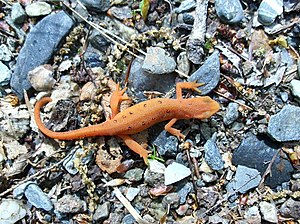 Eastern newt - Image: Red spotted newt (N. v. viridescens)