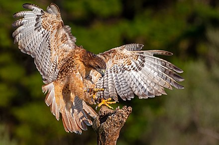 A falconer's red-tailed hawk comes in for a landing Red-tailed hawk, falconer's bird.jpg