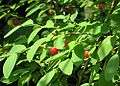 RedHuckleberry250px.jpg