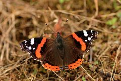 Red Admiral near Lerik Hirkan National Park WDPA ID 313470.jpg