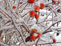 Red Berries (Rose Hips) in Ice (11533819616).png