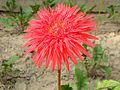 Red Gerbera at Shopnopuri Park.jpg