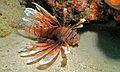 Red Lionfish (Pterois volitans) (6059010892).jpg