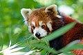 Red Panda (28065506658).jpg