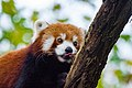 Red Panda (37832783194).jpg
