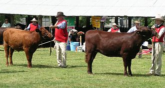Red Poll - Red Poll heifers at the Walcha Show, New South Wales, Australia