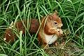 Red Squirrel - take 2 (19023448108).jpg
