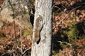 Red Squirrel Moving Down an Oak Tree in the Head First Position.JPG