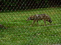 Red Wolf at the Springfield Illinois Zoo.JPG