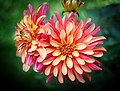 Red and Yellow Dahlia PLT-FL-DH-4.jpg