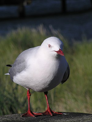 Red-billed gull - Adult