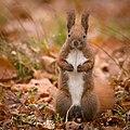 Red squirrel (49297953943).jpg