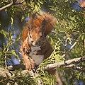 Red squirrel (50949444617).jpg
