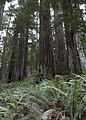 Redwood National and State Park - panoramio.jpg