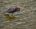 Reef Heron (8124292624).jpg