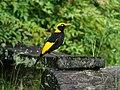 Regent Bowerbird (32230307741).jpg