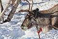 Reindeer farm, Inari, Suomi - Finland 2013-03-10 i.jpg
