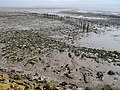 Remains of putcher ranks, Severn Estuary - geograph.org.uk - 750775.jpg