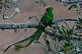 Resplendent Quetzal-1 - Flickr - Ragnhild & Neil Crawford.jpg