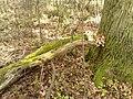 Rezerwat przyrody Dęby w Meszczach 201012 12.34.jpg