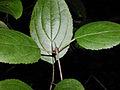 Rhamnus cathartica 5456160.jpg