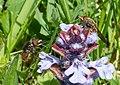 Rhingia campestris - Flickr - gailhampshire (9).jpg