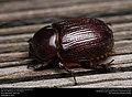 Rhinoceros beetle (Scarabaeidae, Dynastinae) (30046005586).jpg