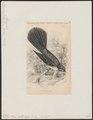 Rhipidura albiscapa - 1838 - Print - Iconographia Zoologica - Special Collections University of Amsterdam - UBA01 IZ16500089.tif