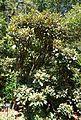 Rhododendron adenogynum - VanDusen Botanical Garden - Vancouver, BC - DSC07303.jpg