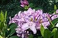 Rhododendron catawbiense Grandiflorum 2zz.jpg
