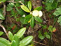 Rhododendron ferrugineum with gall02.jpg