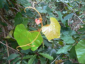 Rhoicissus tomentosa capensis creeper - Cape Town 2.JPG
