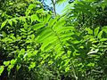Rhus typhina leaves.jpg