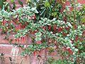 Ribes speciosum - Flickr - peganum (1).jpg