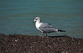Ring-billed Gull(js)2.jpg