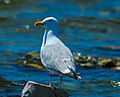 Ring-billed Gull (Larus delawarensis) (25194000907).jpg
