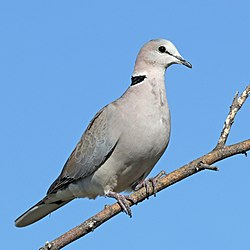 Ring-necked dove (Streptopelia capicola damarensis).jpg
