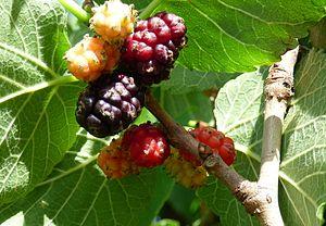 Morus nigra - Image: Ripe fruit of morus nigra