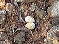River tern-Nest 14 - Koyna 042011.JPG