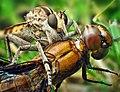 Robber Fly (Triorla interrupta) with Dragonfly (Plathemis lydia).jpg