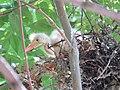 Rookery - 7 17 19 - Snowy Egret chicks (48319584947).jpg