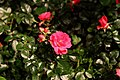 Rosa 'Flower Carpet Scarlet'.JPG