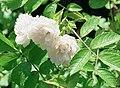 Rosa 'White Grootendorst'.jpg